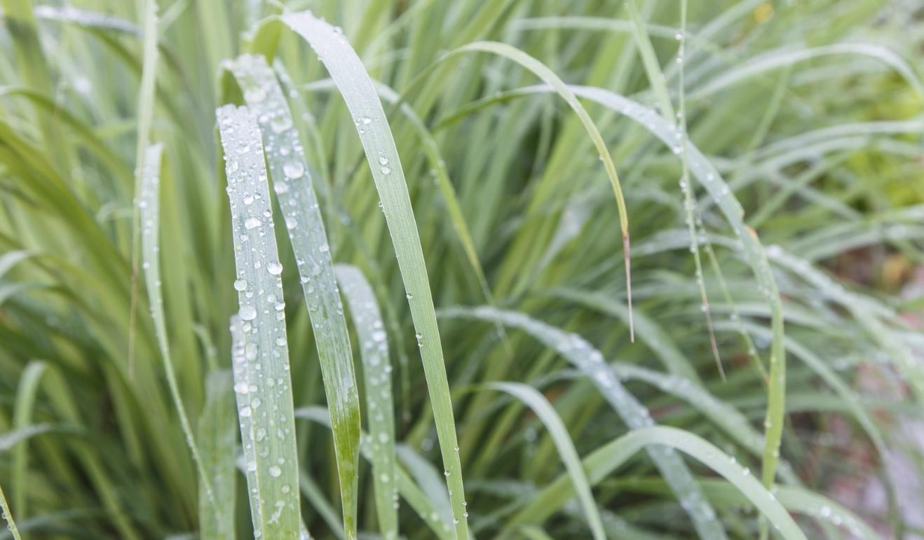 Lemongrass Plant Care